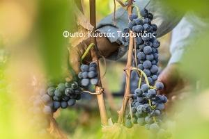 Εκτός αναδιάρθρωσης οι ποικιλίες ξινόμαυρο-νεγκόσκα Γουμένισσας