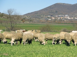 Νησίδα ασφαλείας στην Κ. Μακεδονία το Κιλκίς για την οζώδη δερματίτιδα