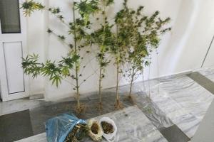 Νέα ...παραγωγική διέξοδος η καλλιέργεια ινδικής κάνναβης (χασίς)  στο ν. Κιλκίς