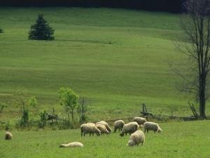 Καταρροϊκός στα πρόβατα. Κατάρρευση των κτηνοτρόφων