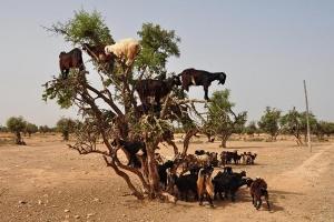 Ήρθαν τα κατσίκια. Στο «πόδι» οι κτηνοτρόφοι